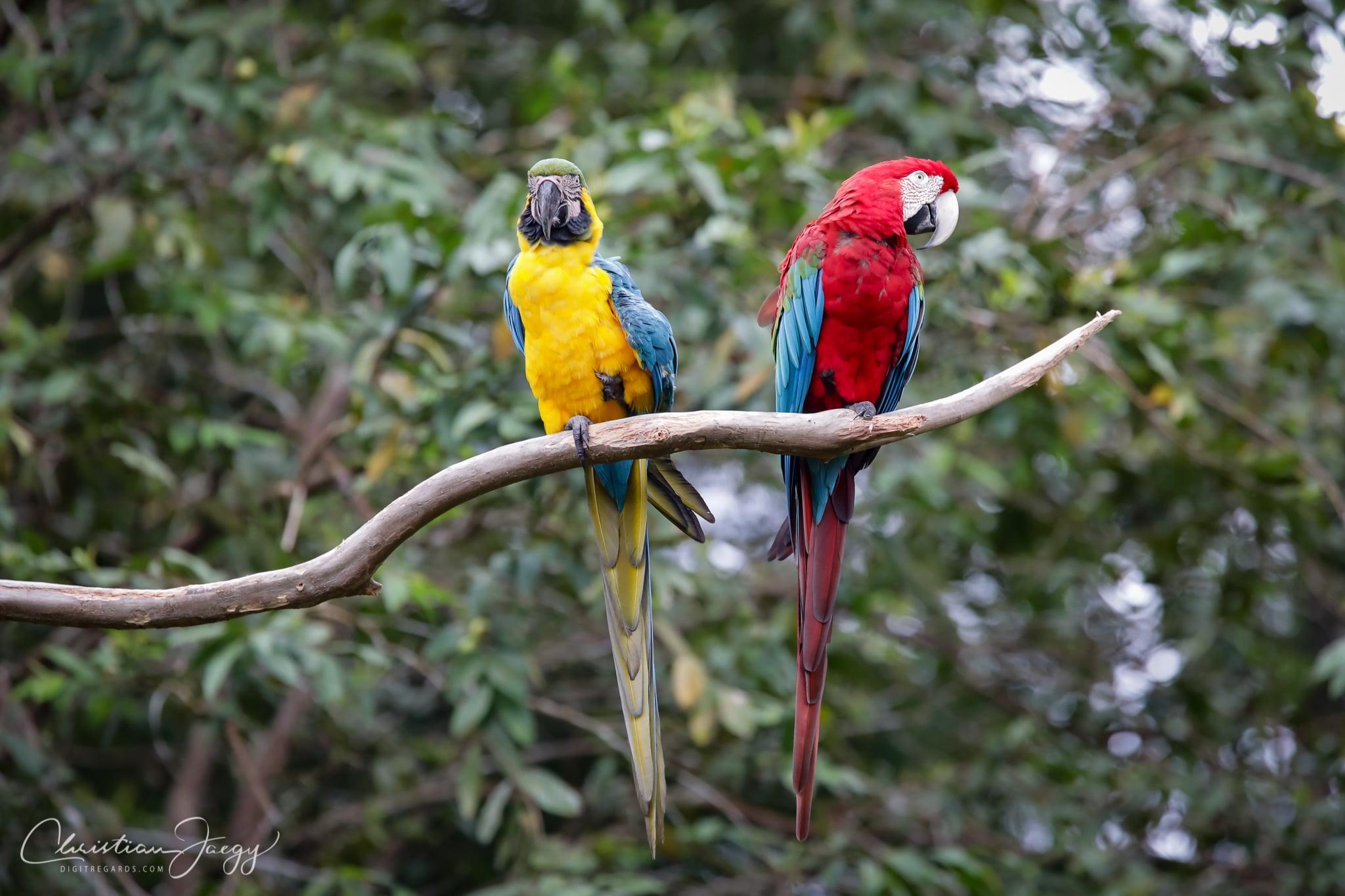 Aras d'Amazonie by Digitregards.com